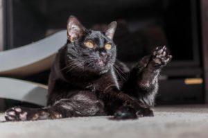 """Бомбейский кот и его бессмертное """"Хоба!!!"""""""