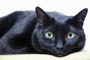 Бомбейский кот лежит и смотрит на вас с лёгким недоумением