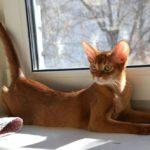 """Кошка порода """"Абиссинская"""" - фото №2"""