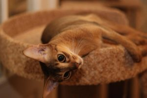 """Кошка порода """"Абиссинская"""" - фото №3"""