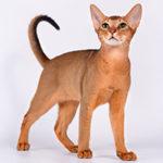 Абиссинская кошка описание породы и характера, фото и видео