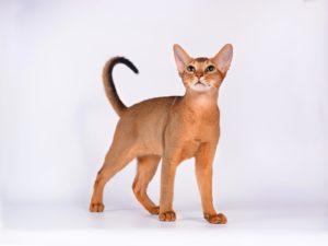 """Кошка порода """"Абиссинская"""" - фото №1"""