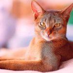 """Кошка порода """"Абиссинская"""" - фото №5"""