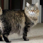 Американский бобтейл фото кошек, описание породы, характер
