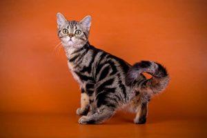 Американская короткошерстная кошка - фото№1