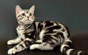 Американская короткошерстная кошка - фото№2