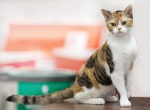 Американская жесткошерстная порода кошек - фото№2