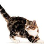 Американская жесткошерстная кошка описание породы, фото