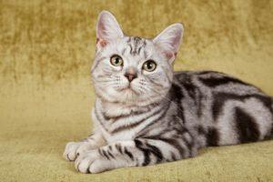 Американская жесткошерстная порода кошек - фото№1