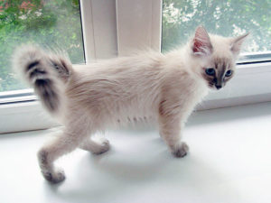 Балинезийская кошка - фото №4