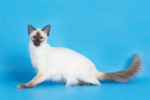 Балинезийская кошка - фото №3