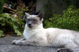 Балинезийская кошка - фото №2