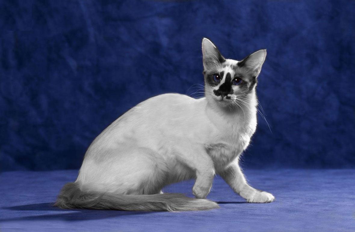 Балинезийская кошка фото и описание породы, характеристики