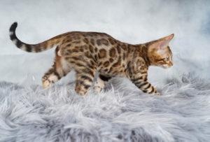 Бенгальская порода кошки - фото №3 (идёт на право - песнь заводит)