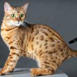 Бенгальская кошка фото и описание породы, характеристики