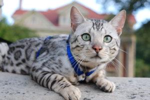 Бенгальская порода кошки - фото №2 (с синим ошейником и не менее синим удивлением)