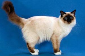 Бирманский котовас на синем фоне