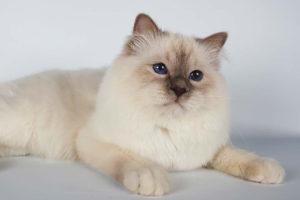 Бирманский кот задумался о своей не лёгкой белопушистой котовской доле
