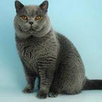 Британская короткошерстная кошка основные сведения, фото