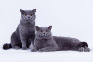 Два британских котоваса: один сидит, другой лежит