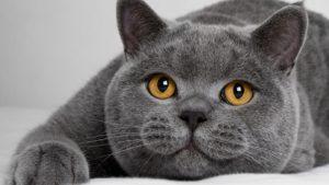 Британский короткошёрстный котейка и его круглые щёки