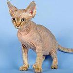 Девон рекс фото, описание породы кошек
