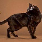 Гавана кошка фото, описание породы и характера