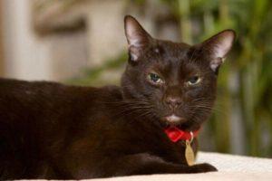 """Кошка породы """"Гавана Браун"""" в стильном красном ошейнике с медальоном"""