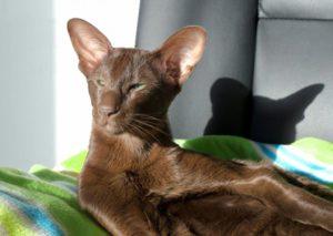"""Кот породы """"Гавана Браун"""" отдыхает после тяжёлого трудового дня"""