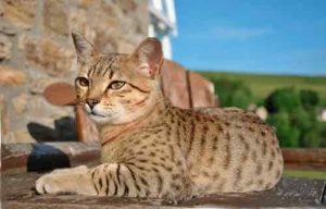 Египетский мау - это пятнистая чистокровная кошка умеренного восточного типа.