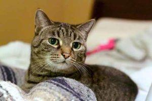 Европейская короткошёрстная кошка на кровати
