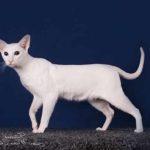 Иностранная Белая порода кошек