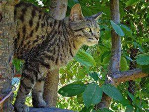 Калифорнийская сияющая кошка фото и описание породы, характеристики